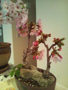 綾瀬市ユーノ動物病院に咲く桜